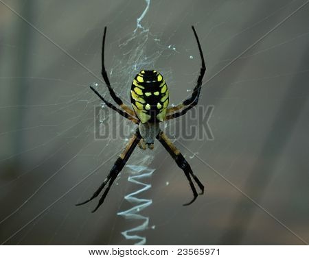 Yellow & Black Spider