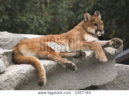 American Cougar Mountain Lion