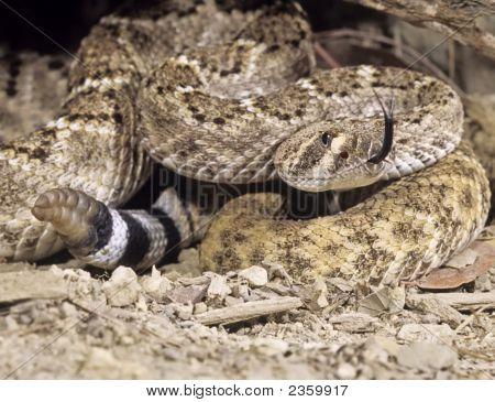 Snake-Western Diamondback Rattlesnake