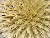 picture of defloration  - Macro photograph of head of deflorate flower - JPG