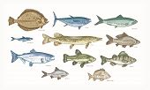 Set Of Elegant Drawings Of Fish Isolated On White Background. Bundle Of Underwater Animals Or Creatu poster