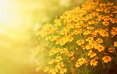 Blurred Autumn Background With Growing Tagetes Tenuifolia Flowers. Sunny Day. Beautiful Natural Flor poster