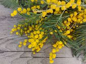 Mimosa (silver Wattle) Branch On Wooden Background. Mimosa Spring Flowers Tree Branch On Wooden Tabl poster