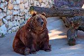 Brown Bear Sits In Zoo. Brown Bear Sitting On Concrete Floor Against Wood Stump. Big Brown Bear (urs poster