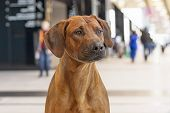 Rhodesian Ridgeback South African Dog Breed Refers To Related Breeds Of Hound Dogs, Short Brown Wool poster