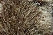 Fur Animal Close-up. Fur Texture. Fur. Natural Texture poster