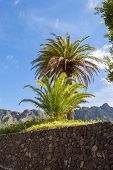 Isolated Palm Tree On The Road Facing The Mountains Of The Masca Valley In Tenerife poster