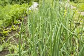 Green Onions In The Garden Growing In The Soil In The Garden, Growing Healthy Vegetables. poster
