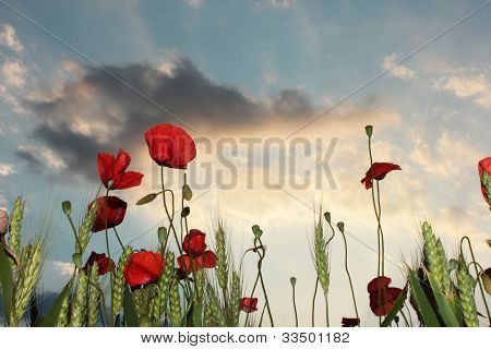 wild poppies on dramatic sky