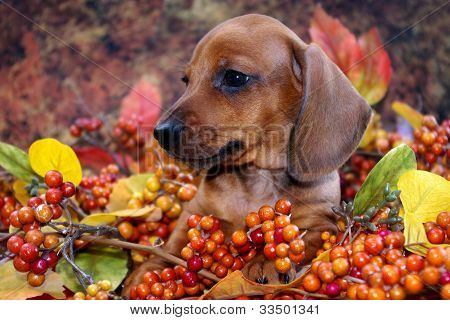 Autumn Dachshund Puppy