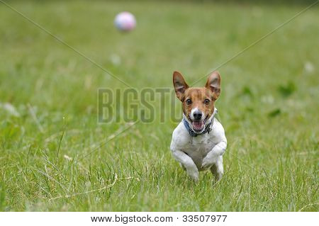 Running Dog For A Ball