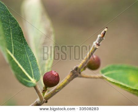 Ficus Opposita Australian Native Plant Flora Sandpaper Fig Fruit