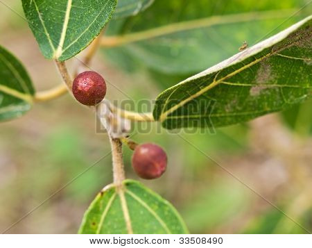 Ficus Opposita Australian Native Plant Flora Sandpaper Fig Fruit