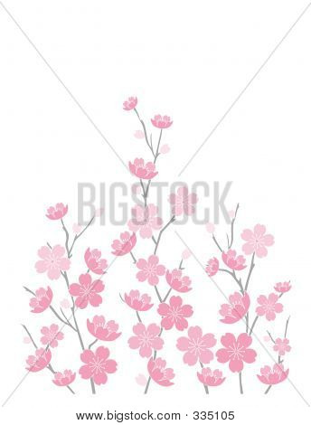 Cherry Blossoms On White