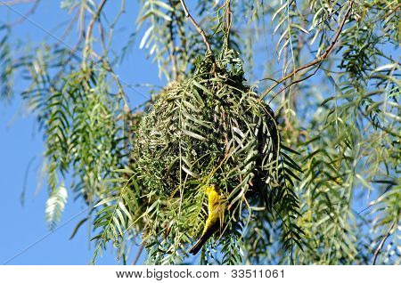 Nest of a Cape weaver bird