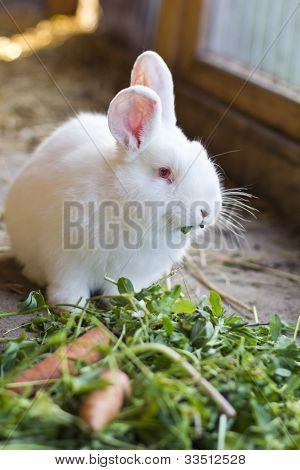 white rabbit eating grass