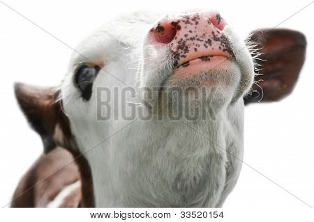 Portrait Of Little Cow