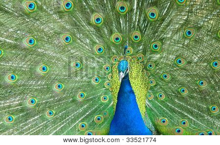 Beautiful Peacock Spread The Tail Feathers