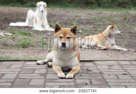 Japanese Shiba Inu Rests
