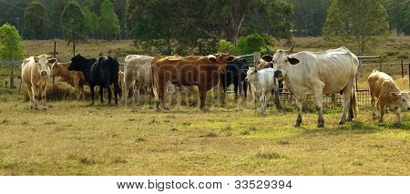 Herd Of Australian Beef Cattle Panarama