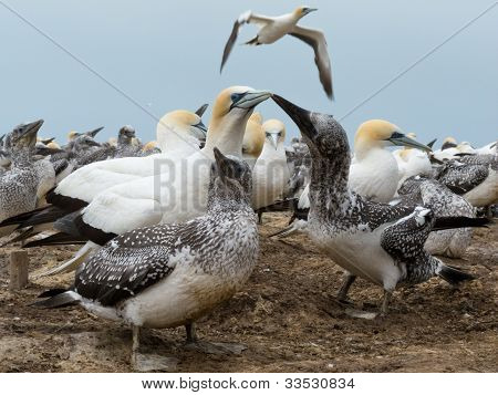 Colony of Australasian Gannets, Morus serrator