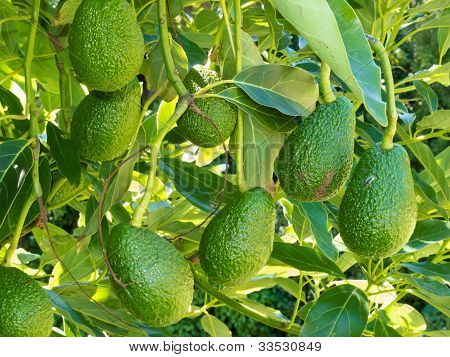 Ripe avocado fruits growing on tree as crop