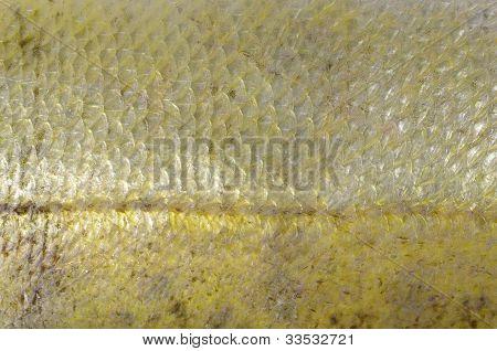 Haut zander