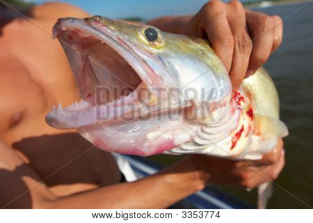 Perfect Fishing. Big Zander
