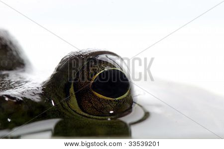 Eyes Of Bullfrog In Water