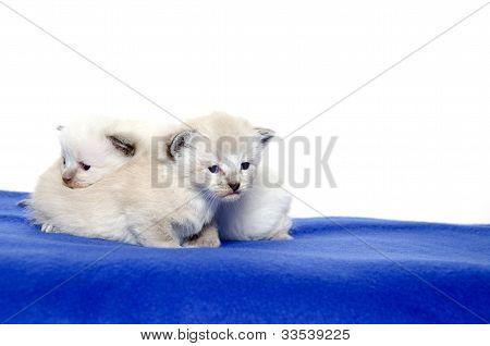 Two Cute Kittens On Blue Blanket