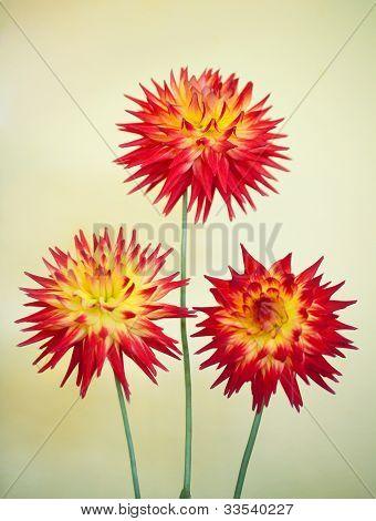 Cactus Dahlia - Karma Bon Bini