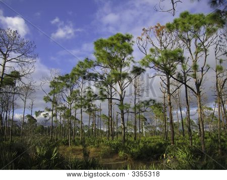 Pine Scrub