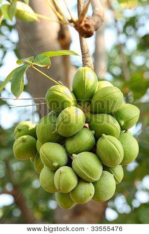 Sterculiaceae On Tree