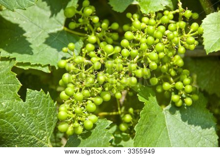 Young Chardonnay Grapes