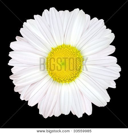 White Daisy Flower Isolated On Black Background