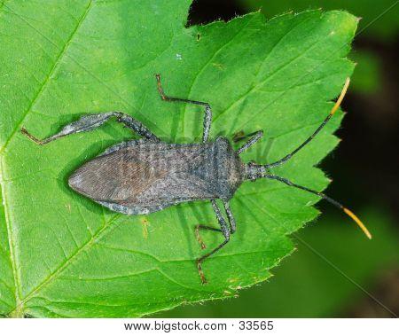 Reduviid Bug On Leaf With Missing Leg