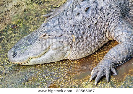 Jacaré americano (Alligator mississippiensis)