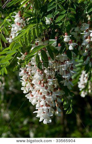 Robinia Black Locust Tree White Blossom