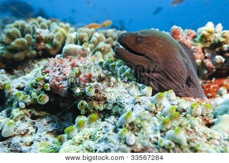 Java Moray Gymnothorax Javanicus