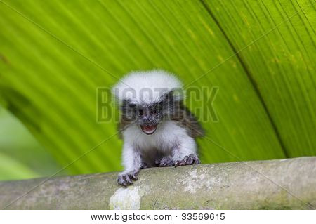 poster of cotton-top tamarin