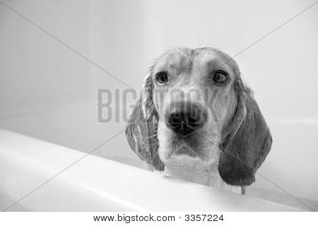 Beagle Bath Time
