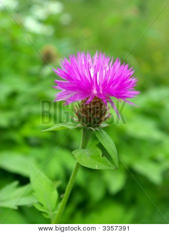The Mauve Cornflower.