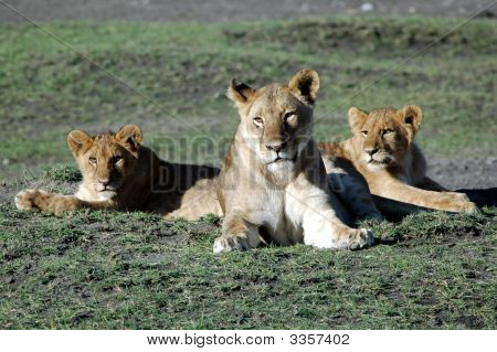 Female Lion With Cubs