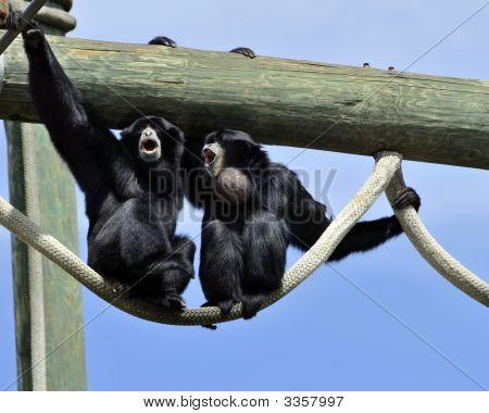Howler Monkeys Howling