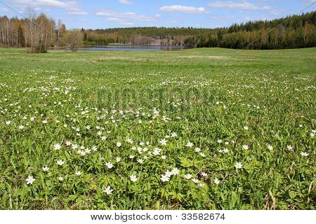 Spring Meadow With Windflowers