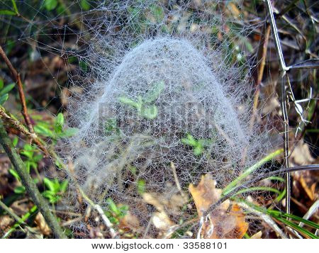 Web of Filmy Dome Spider