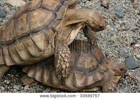 tortoise getting busy