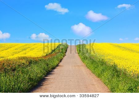 Beautiful fields of rape in Springtime