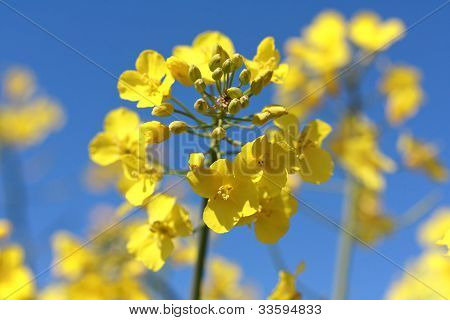 Beautiful oilseeds flowers close up