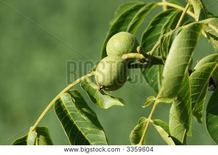 Unripe Walnut